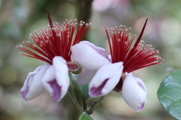 フェイジョアの花のアップ写真