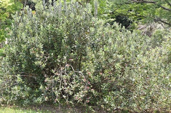 フェイジョアの木の全体像 樹形