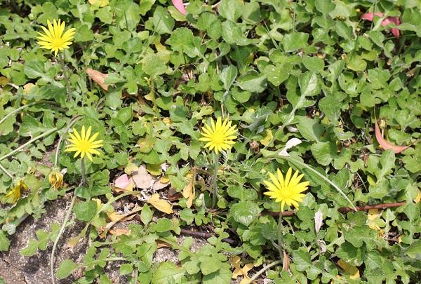 ワタゲツルハナグルマ(アークトセカ)が咲いてる様子の写真