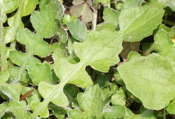 ワタゲツルハナグルマ(アークトセカ)の葉のアップ写真