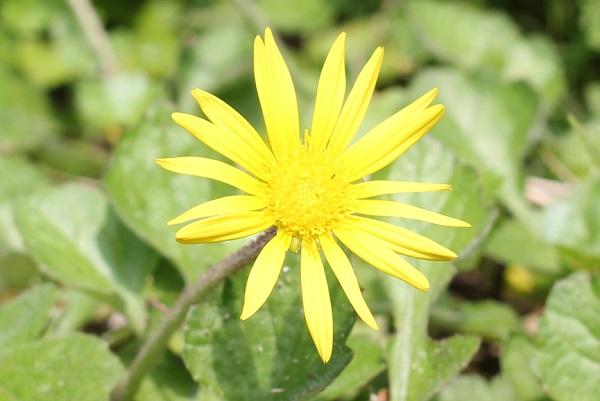ワタゲツルハナグルマ(アークトセカ)の花のアップ写真