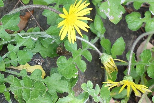 ワタゲツルハナグルマ(アークトセカ)、咲いてる花や蕾、横から見た花
