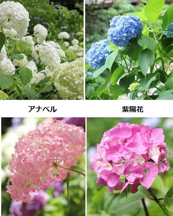 紫陽花とアナベルの花の違い 比較写真
