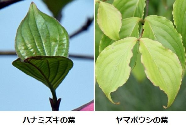 ハナミズキとヤマボウシの葉の比較写真
