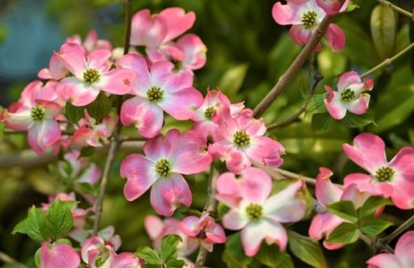 満開に咲くピンクノハナミズキの花の写真