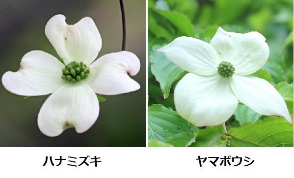 ハナミズキとヤマボウシの花のアップ、比較写真