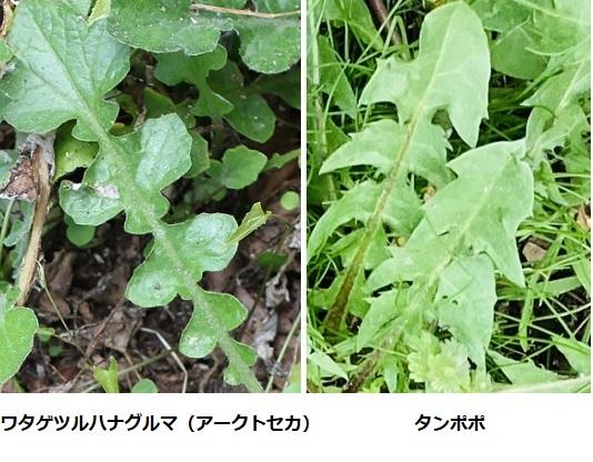 ワタゲツルハナグルマ(アークトセカ)の葉とタンポポの葉の比較写真