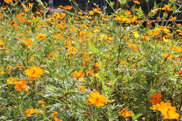野に咲くキバナコスモス(黄花コスモス)、群生の写真