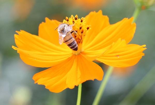 キバナコスモスの花と蜂