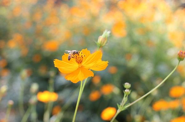 キバナコスモス(黄花コスモス)花の写真