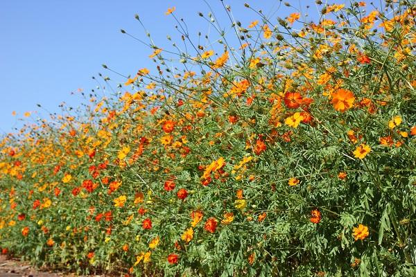 色とりどりに咲くキバナコスモス(黄花コスモス)の様子の写真