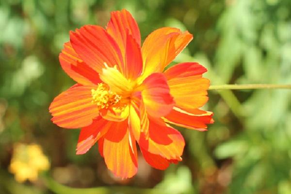 八重咲きのキバナコスモス(黄花コスモス)の花のアップ写真