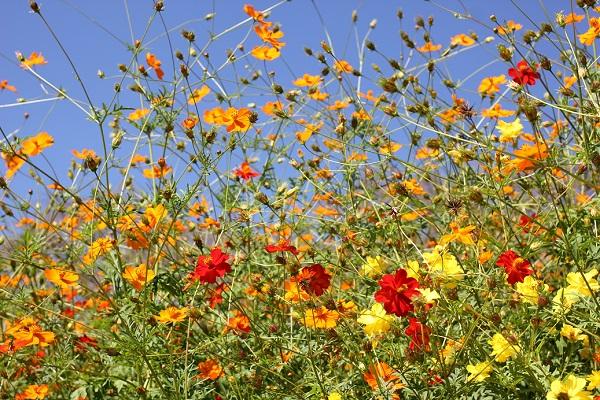 黄色、オレンジ、赤のキバナコスモス(黄花コスモス)の花の写真