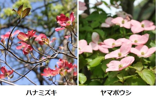 ピンクのハナミズキとピンクのヤマボウシの比較写真