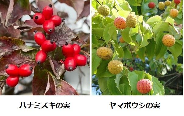 ハナミズキとヤマボウシの実の比較写真