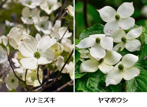 ハナミズキとヤマボウシが咲いてる様子 比較写真