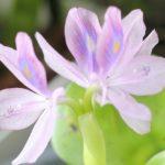 ホテイアオイ(ホテイソウ)の花
