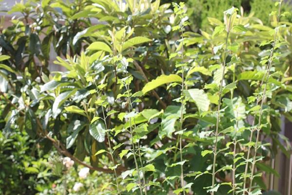 チャイニーズハットの新芽が伸びた様子の写真