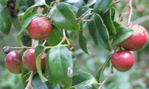 ヤブツバキの赤い実の写真