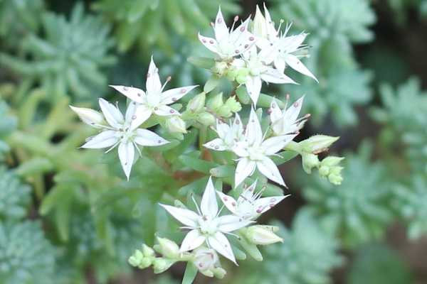 パリダム(シンジュボシマンネングサ)の花のアップ写真