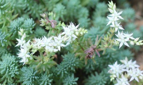 パリダム(シンジュボシマンネングサ)の花が咲いた様子の写真