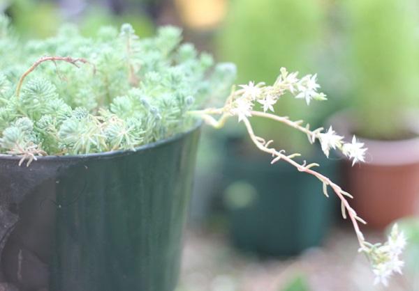 鉢で育ててるパリダム(シンジュボシマンネングサ)の様子