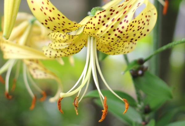黄金鬼百合(オウゴンオニユリ)の花の写真