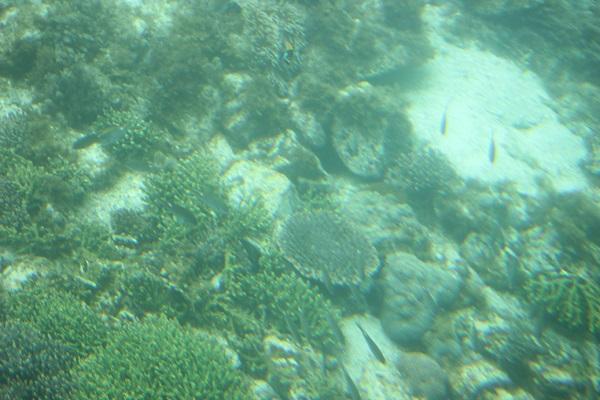 ミドリイシサンゴ