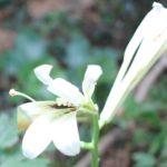 山に咲く姥百合(ウバユリ)の花