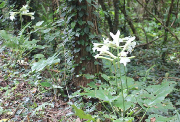 林に咲いているウバユリ(姥百合)の花の様子