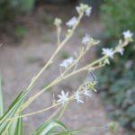 オリズルランの花が咲いている様子