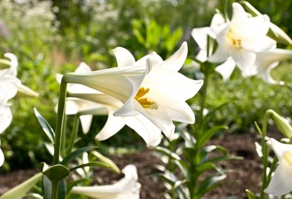 テッポウユリの花の写真