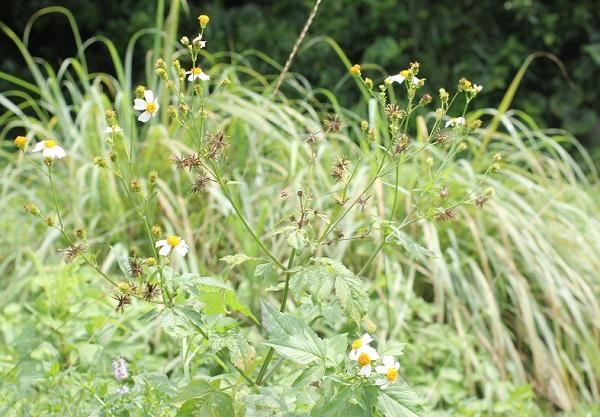 夏の荒地で見かけたシロバナセンダングサ(コシロノセンダングサ)
