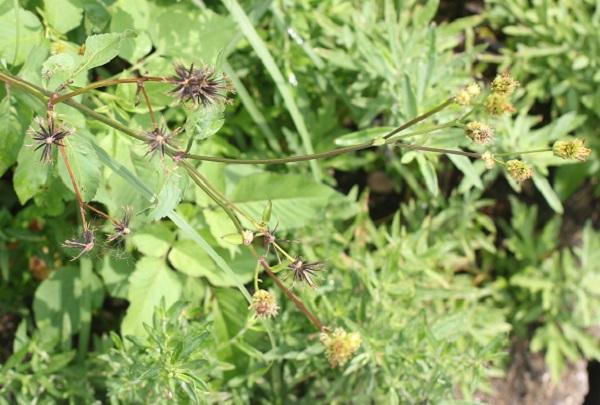 シロバナセンダングサ(コシロノセンダングサ)の果実、種の様子