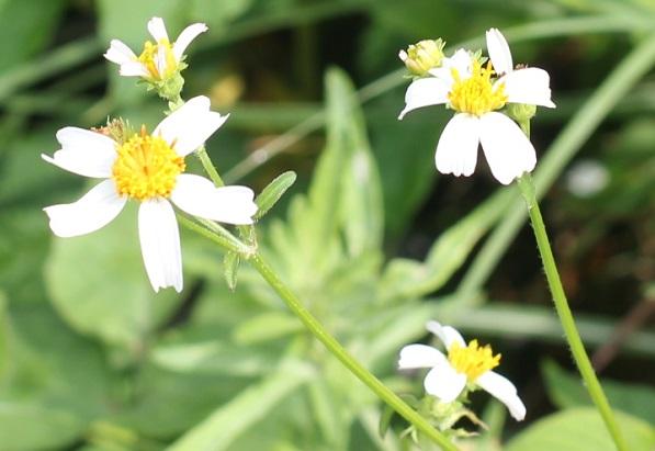 シロバナセンダングサ(コシロノセンダングサ)の白い花