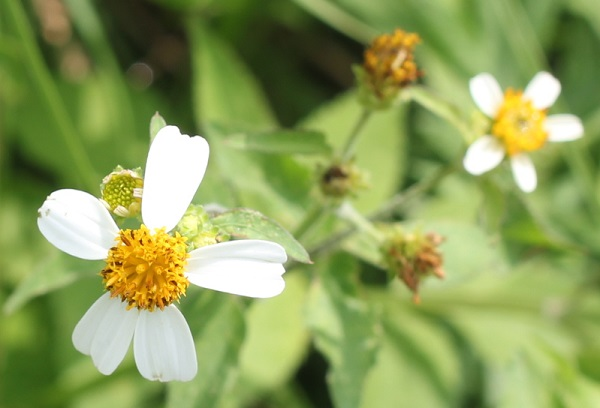 シロバナセンダングサ(コシロノセンダングサ)の花