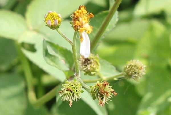 シロバナセンダングサ(コシロノセンダングサ)の花後の様子