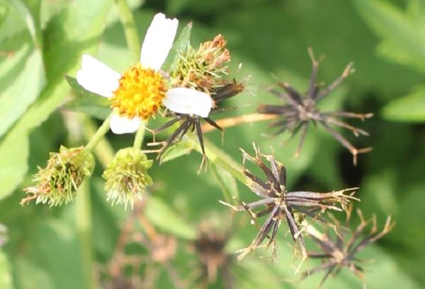 シロバナセンダングサ(コシロノセンダングサ)、花と果実、種の様子