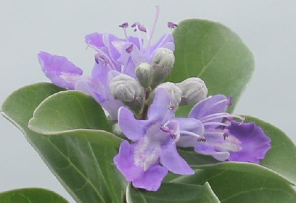 ハマゴウ(浜栲)の花のアップ写真