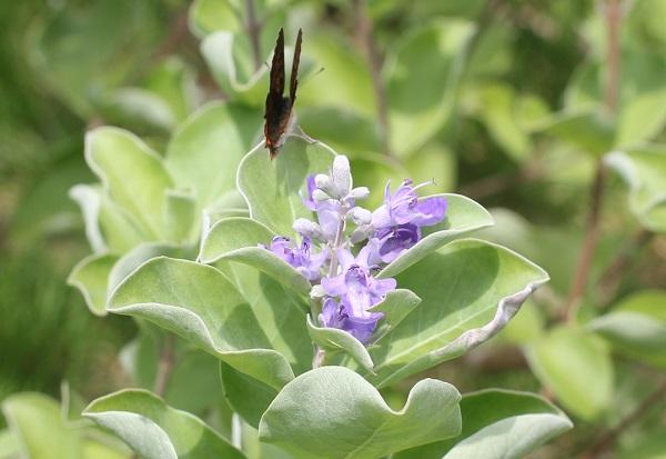 ハマゴウ(浜栲)の花とチョウチョ