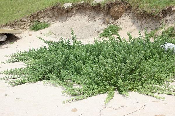 砂浜を這うハマゴウ(浜栲)