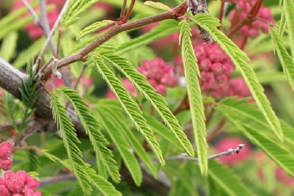 トキワネム(常盤合歓)の葉の写真