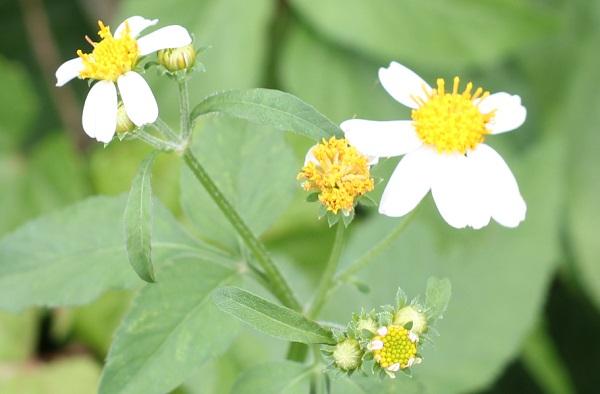 シロバナセンダングサ(コシロノセンダングサ)の花や蕾