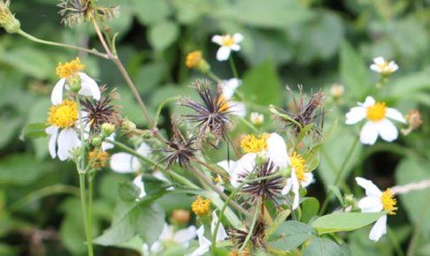 シロバナセンダングサ(コシロノセンダングサ)の花、種の様子