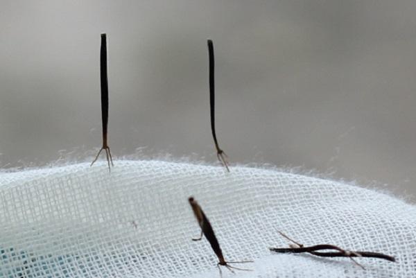シロバナセンダングサ(コシロノセンダングサ)の種のアップ写真