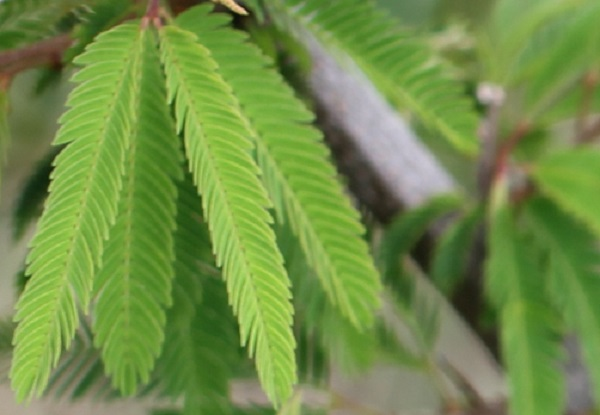 トキワネム(常盤合歓)の葉、アップ写真