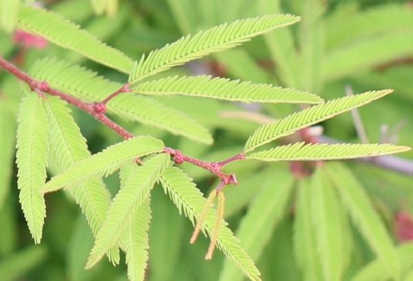 トキワネム(常盤合歓)の葉の様子
