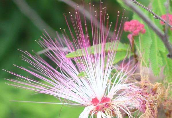 トキワネム(常盤合歓)の花、アップ写真