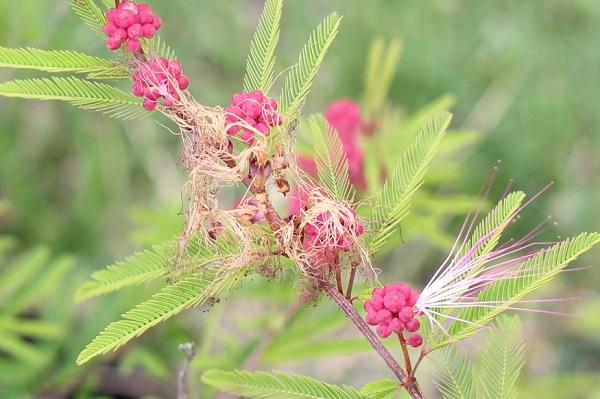 トキワネム(常盤合歓)の花や蕾、ひとつの蕾から花が咲いた様子