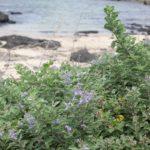 海岸でみかけたハマゴウ(浜栲)